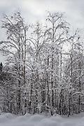 Grey alder (Alnus incana) on side of large beaver pond on snowy winter day, Gauja National Park (Gaujas Nacionālais parks), Latvia Ⓒ Davis Ulands | davisulands.com