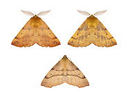 70.244 (1923)<br /> Feathered Thorn - Colotois pennaria