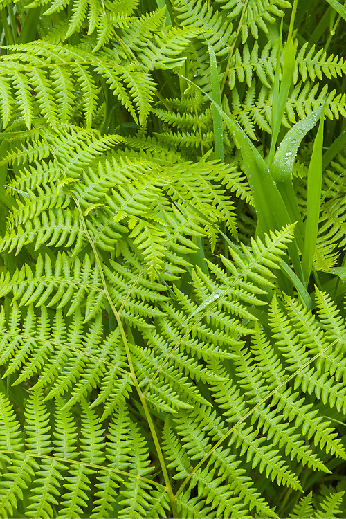 Bracken fern (Pteridium aquilinum), June, Olympic Peninsula, WA, USA