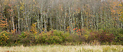 Line of larch trees and aspens in The Fall in Connecticut, USA