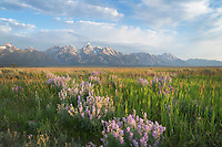Antelope Flats lupines and sagebrush. Grand Teton National Park