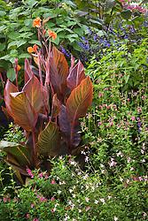Canna 'Durban' with Salvia guaranitica 'Indigo', S. greggi 'Plum Wine' and S. microphylla var. wislizenni