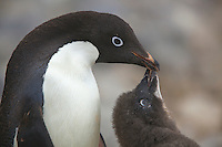 Close-up of Adelie Penguin adult with its chick (Pygoscelis adeliae) on Paulet Island, Weddell Sea.