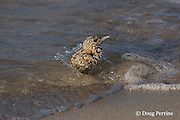 crested or swift tern chick, Sterna or Thalasseus bergii, braces against a wavelet - if washed into the sea it may fall prey to sharks that patrol the shoreline, Turu Cay, Torres Strait, Queensland, Australia