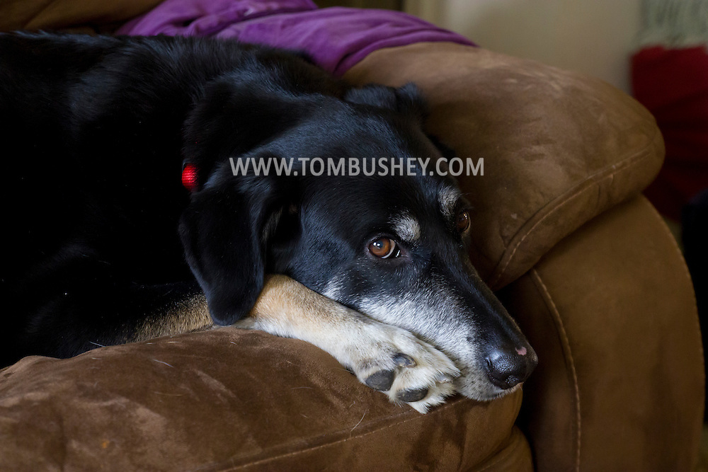 Citrus Heights, Calif. - A mixed-breed dog relaxes on a couch on March 6, 2014.