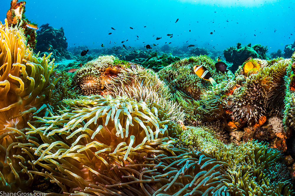Anemone City is a dive site in Indonesia where the entire bottom, for miles, is completely covered in anemones
