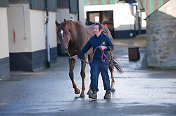 © Licensed to London News Pictures. 22/03/2014<br /> <br /> Middleham, North Yorkshire<br /> <br /> A race horse is led back to a stall after exercise at the Mark Johnston stables in Middleham, North Yorkshire. Race horses have been trained in Middleham for over 200 years using the extensive gallops on the high moor. There are currently 15 stables based around the small Yorkshire village.<br /> <br /> Photo credit : Ian Forsyth/LNP