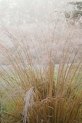 Molinia caerulea subsp. arundinacea 'Transparent