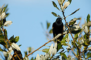 Red-winged Blackbird (Agelaius phoeniceus) at Baskett Slough National Wildlife Refuge, Dallas, Oregon
