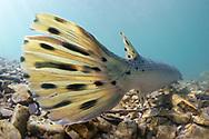Longnose Gar (tail)<br /> <br /> Isaac Szabo/Engbretson Underwater Photography