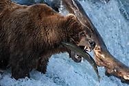 Bear 775 Lefty catches a salmon at Brooks Falls in Katmai National Park, Alaska