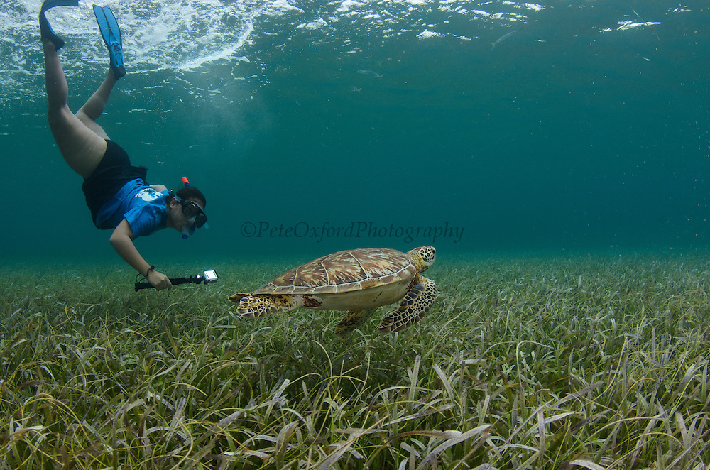 Green Sea Turtle (Chelonia mydas) monitoring<br /> Shark Ray Alley<br /> Hol Chan Marine Reserve<br /> near Ambergris Caye and Caye Caulker<br /> Belize<br /> Central America