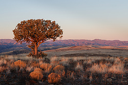 Sunrise on lone juniper tree, Ladder Ranch, west of Truth or Consequences, New Mexico, USA.