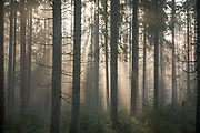 Foggy morning in conifer forest with spruce (Picea abies) and pines (Pinus sylvestris), near Ramata, Latvia Ⓒ Davis Ulands   davisulands.com