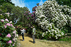 © Licensed to London News Pictures. 24/05/2020. IVER, UK.  Visitors view the variety of rhododendrons flowering during warm weather in the Temple Gardens of Langley Park, now open to the public again as the UK government has slightly relaxed coronavirus pandemic lockdown restrictrions.  A former royal hunting ground, Langley Park has links to King Henry VIII, Queen Elizabeth I and Queen Victoria.  Each year, the masses of flowers bloom from March to June.  Photo credit: Stephen Chung/LNP