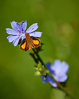 Butterfly on a blue wildflower. Sourland Mountain Preserve. Image taken with a Nikon D800 camera and 300 mm f/2.8 lens (ISO 100, 300 mm, f/2.8, 1/2000 sec).