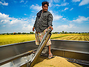 "23 NOVEMBER 2016 - AYUTTHAYA, THAILAND: A worker checks the amount of rice in the back of a harvester during the rice harvest in Ayutthaya province, north of Bangkok. Rice prices in Thailand hit a 13-month low early this month. The low prices are hurting farmers. Rice exports account for around 10 percent of Thailand's gross domestic product, and low prices frequently lead to discontent in the rural areas of Thailand. The military government has responded by sending soldiers to rice mills, to ""encourage"" mill owners to pay farmers higher prices. The Thai army and navy are also buying for their kitchens directly from farmers in an effort to get more money into farmers' hands.  PHOTO BY JACK KURTZ"
