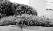 Black & white abstract view of a goldendoodle dog sleeping. WATERMARKS WILL NOT APPEAR ON PRINTS OR LICENSED IMAGES.