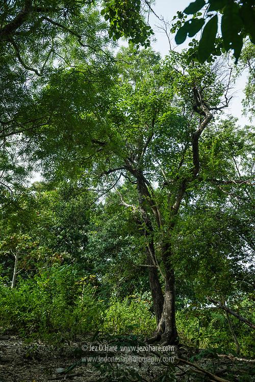 Pohon cendana berumur kurang lebih seratus tahun. Kerajaan Boti, Kabupaten Timor Tengah Selatan, Pulau Timor, Nusa Tenggara Timur, Indonesia<br /><br />Approximately 100 year old sandalwood tree. Boti Kingdom, Kabupaten Timor Tengah Selatan, Pulau Timor, Nusa Tenggara Timur, Indonesia