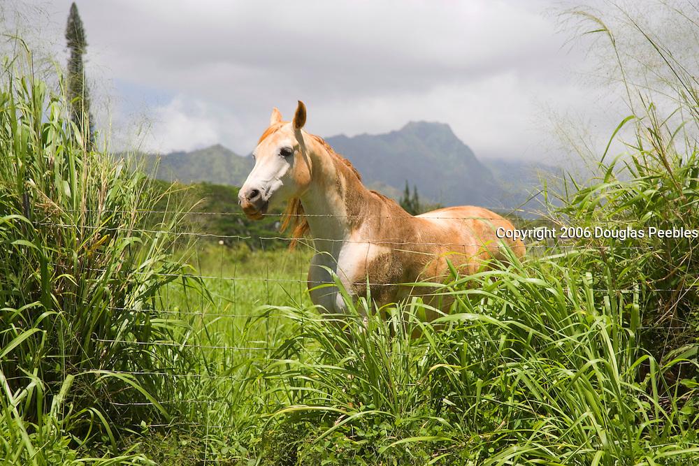 Horse, Kauai, Hawaii