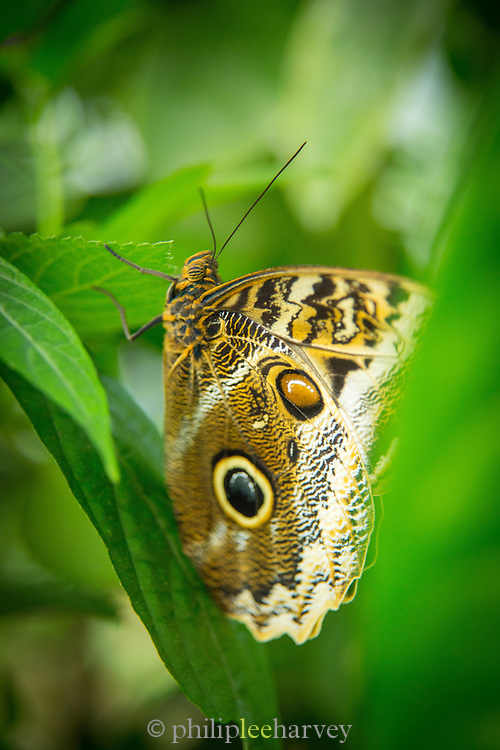 Yellow-edged Giant Owl Butterfly, (captive)Mashpi Reserve. Ecuador, South America