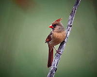 Female Northern Cardinal. Image taken with a Nikon D5 camera and 600 mm f/4 VR lens (ISO 1600, 600 mm, f/4, 1/400 sec).