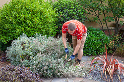 Cutting back a summer flowering shrub - Senecio - with hand shears after it has finished flowering