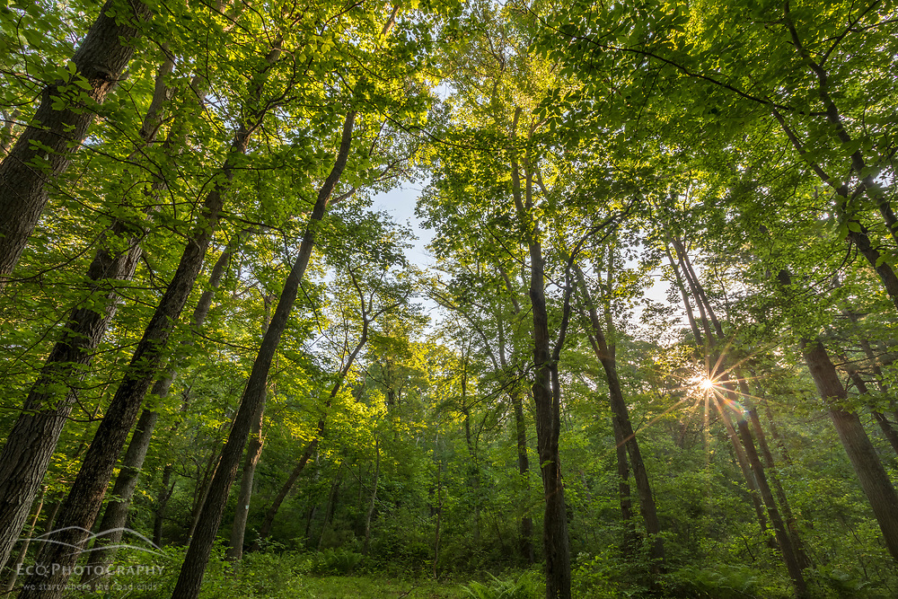 The morning sun shines through the trees in a forest at the Donibristle Reservation in Topsfield, Massachusetts.