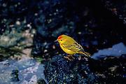 Yellow Warbler bird, Santa Cruz,  the Galapagos Islands, Ecuador