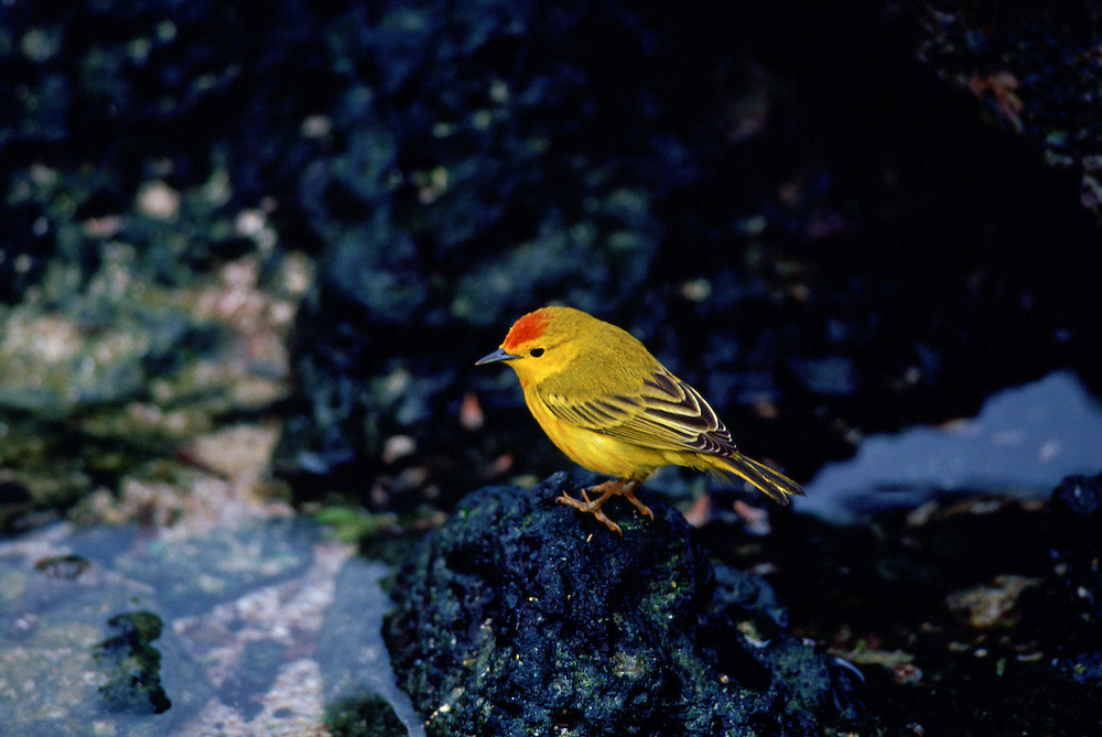 Yellow Warbler bird, Santa Cruz,  the Galapagos Islands, Ecuador