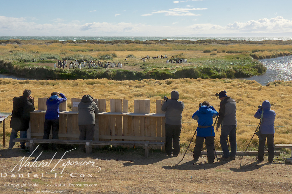 Explorers photographing the most northern rookery of King Penguins in the world along the shore of the southern tip of Chile. Patagonia