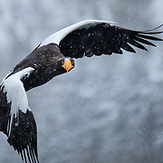 eye to eye with Steller's Sea Eagle, Japan