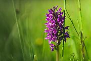 "Blooming early marsh-orchid (Dactylorhiza incarnata) at ""Lielezers"" nature trail, Limbaži, Latvia Ⓒ Davis Ulands   davisulands.com"