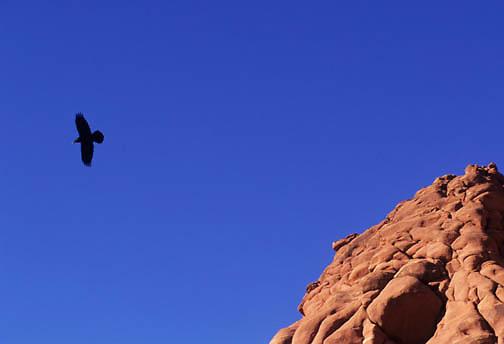 Common Raven (Corvus corax) in flight over the canyonlands of Utah.