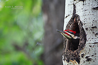 A pileated woodpecker (dryocopus pileatus) male pokes its head out of a nest cavity in an aspen tree in the montane forest zone