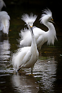A snowy egret in full display of its plumage while feeding on herring fry.
