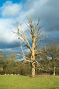 Dead elm tree - Ulmus - a likely victim of Dutch Elm Disease in the Cotswolds, Oxfordshire, UK