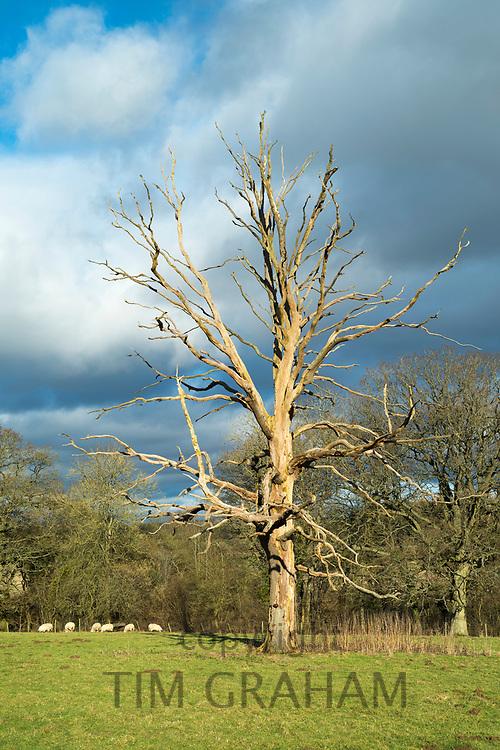 Dead elm tree - Ulmus - a likely victim of Dutch Elm Disease in the Cotswolds, Oxfordshire, UK