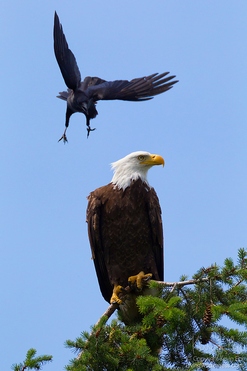 """A northwestern crow (Corvus caurinus) dives at a bald eagle (Haliaeetus leucocephalus) perched in Kirkland, Washington. Crows often harass eagles, hawks and other birds of prey, attacks that are known as """"mobbing."""""""