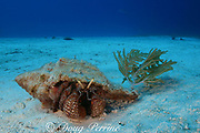giant hermit crab, Petrochirus diogenes, in shell of conch, Strombus sp., decorated with sea plume (gorgonian coral), Little Bahama Bank, Bahamas ( Western Atlantic Ocean )