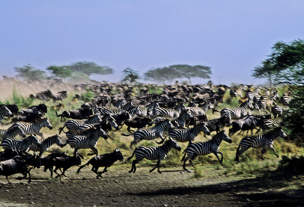 A group of zebras and wildebeest stampeding across the grassland.