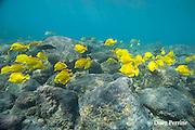 schooling yellow tangs ( Zebrasoma flavescens ) swarm over rocky reef, Kahalu'u ( Kahaluu )Beach Park, Kona, Hawaii Island ( the Big Island ), Hawaii, USA ( Central Pacific Ocean )