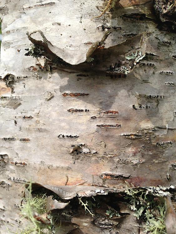 Birch Bark Detail, Witherle Woods, Castine, Maine, US