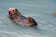 sea otter, Enhydra lutris, ( Endangered Species ), Valdez, Alaska ( Prince William Sound ), USA