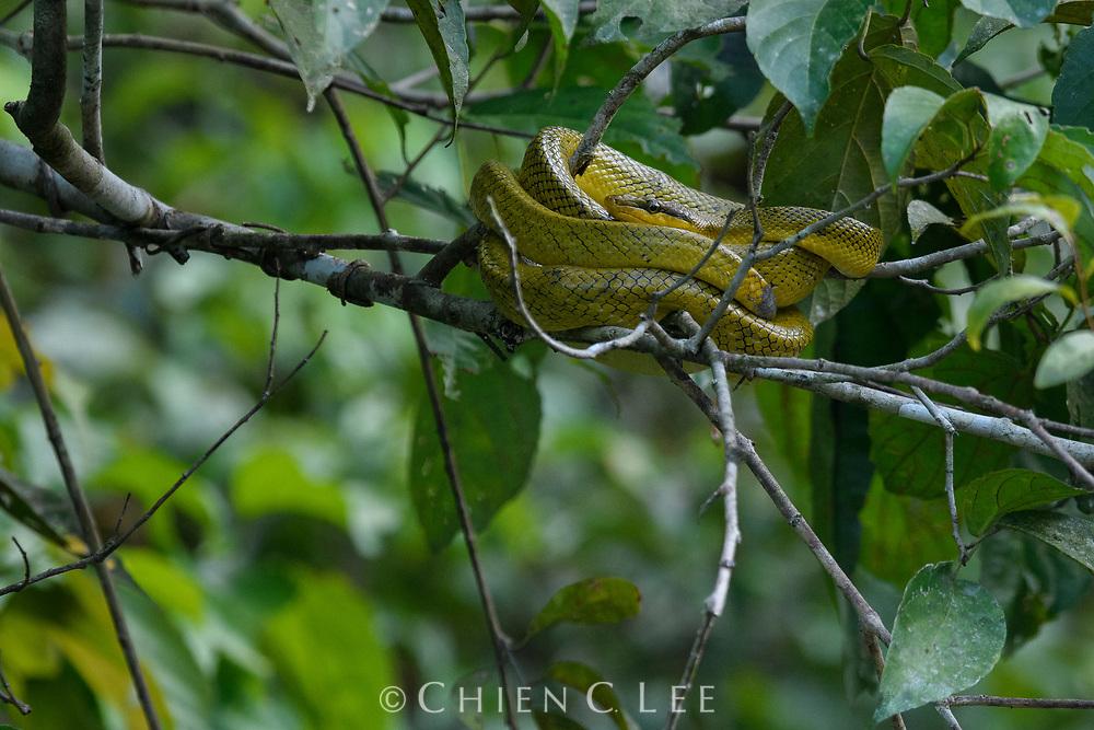 Brown-tailed Racer (Gonyosoma oxycephalum). Sungai Kinabatangan Wildlife Sanctuary, Sabah, Malaysia (Borneo).