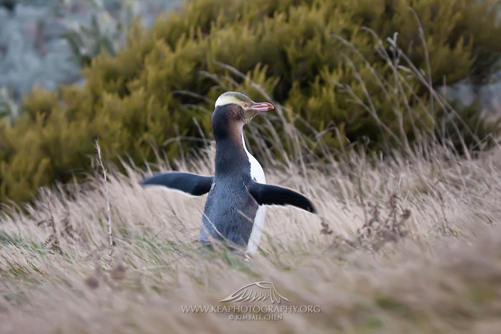 Yellow-eyed Penguin, Otago Peninsula, New Zealand