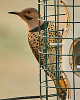 Northern Flicker (Colaptes auratus). Image taken with a Nikon N1V3 camera and 70-300 mm VR lens.