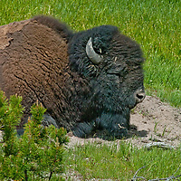 An American Bison (Bison bison) naps in a dust wallow  in Yellowstone National Park, Wyoming.