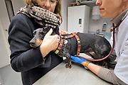 Nederland, Nijmegen, 16-1-2019 Onze hond, teckel Teun, laat zich gewillig door de dierenarts ondezoeken alvorens hij zijn jaarlijke inenting tegen rabies, hondsdolheid, en de ziekte van Weil krijgt. Foto: Flip Franssen
