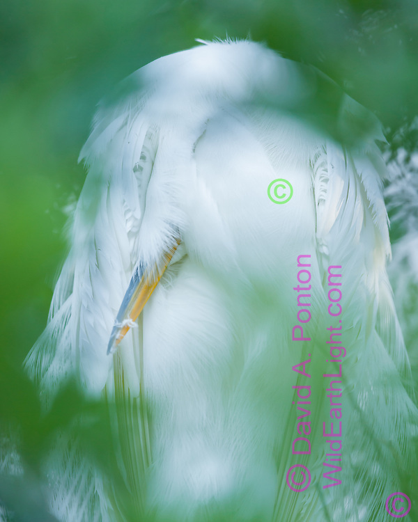 Great egret sleeping, somehow retracting its neck and head under feathers, adult in breeding plumage. Image is softened by photographing through foliage, Florida, © David A. Ponton